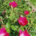 RosesParc15