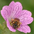 Abeille dans une fleur de géranium vivace