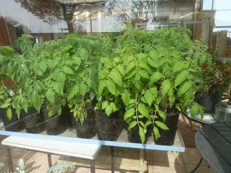 3-tomates en pots (4)