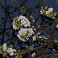 Mon cerisier .... la nuit ...