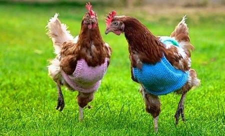 chickens-in-jumpers