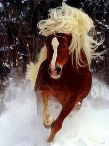 haflinger_mooi