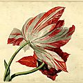 Jan van huysum (dutch, 1682-1749), flower study; a variety of tulip, red and white stripes, 1697-1749