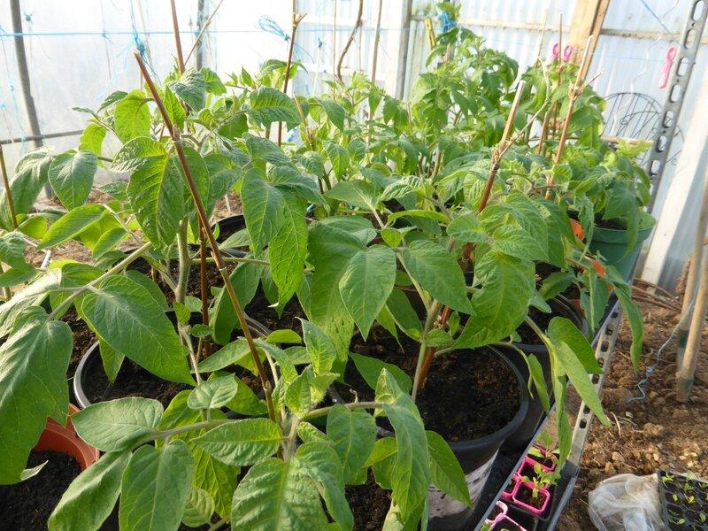 14-tomates (7)