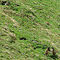 Marmottes (4)