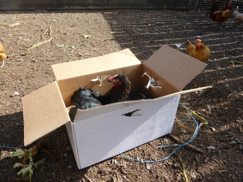 2-poules marans (7)