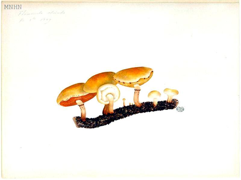 90 Flammula alnicola Pholiota highlandensis