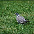 Pigeon ramier (Columba palumbus) ou palombe