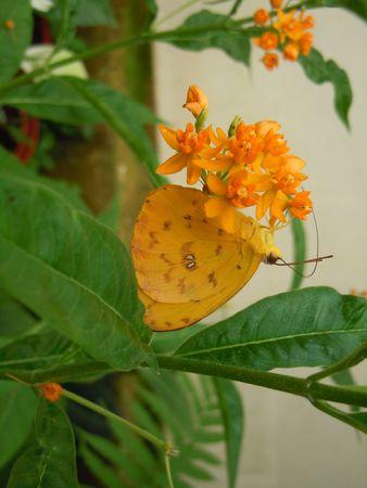 Papillon_Orleans3