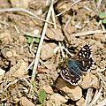 Hespérie des sanguisorbes - Spiala sertorius (2)