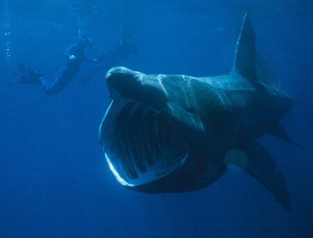 790px_Basking_Shark