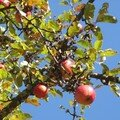 Pommes givrées