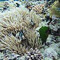 Là, où les poissons clonws sont les maîtres enchanteurs du lagon