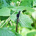 Calopteryx vierge