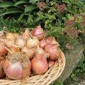 Oignons rosés de roscoff en ragoût de cocos de paimpol... et un petit peu de cochon, de tomate et de basilic!