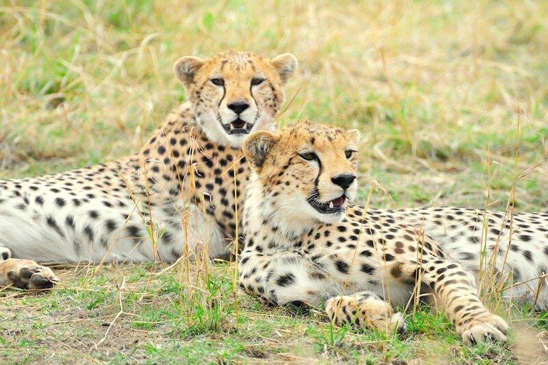Guépards, réserve de Masaï Mara, Kenya