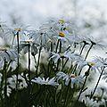 Chrysantheme ou marguerite