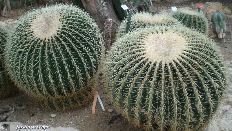 CIMG1460_Echinocactus