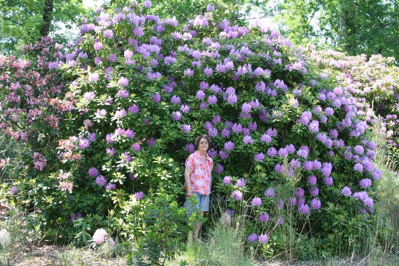Les plus beaux rhodo entre gironde et landes - Rhododendron ne fleurit pas ...