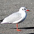 Mouette rieuse (hiver)