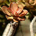 Euphorbia piscatoria, ponta sao lourenzo