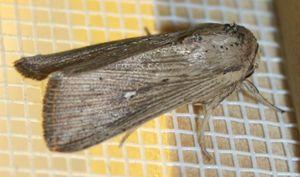 Leucania insulicola (1)