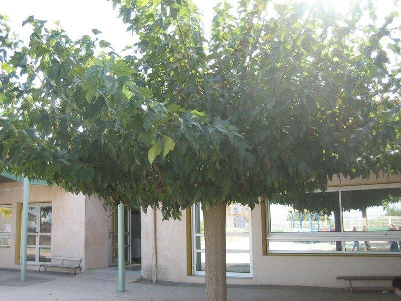 les arbres de la cour 005