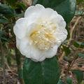Ces fleurs immaculées bravent les frimas de février