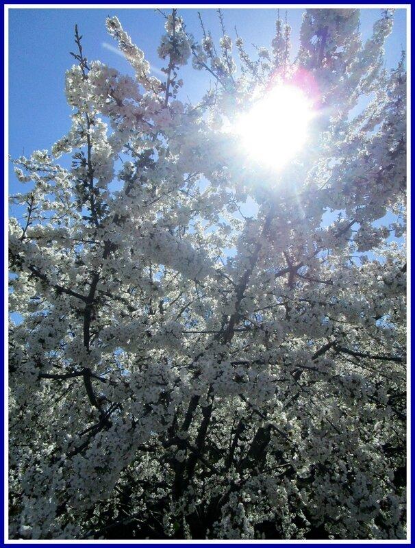 Cerisier12