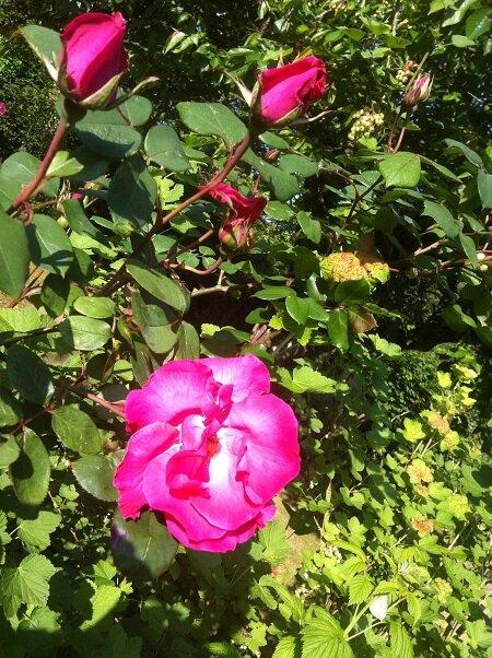 grand rosier