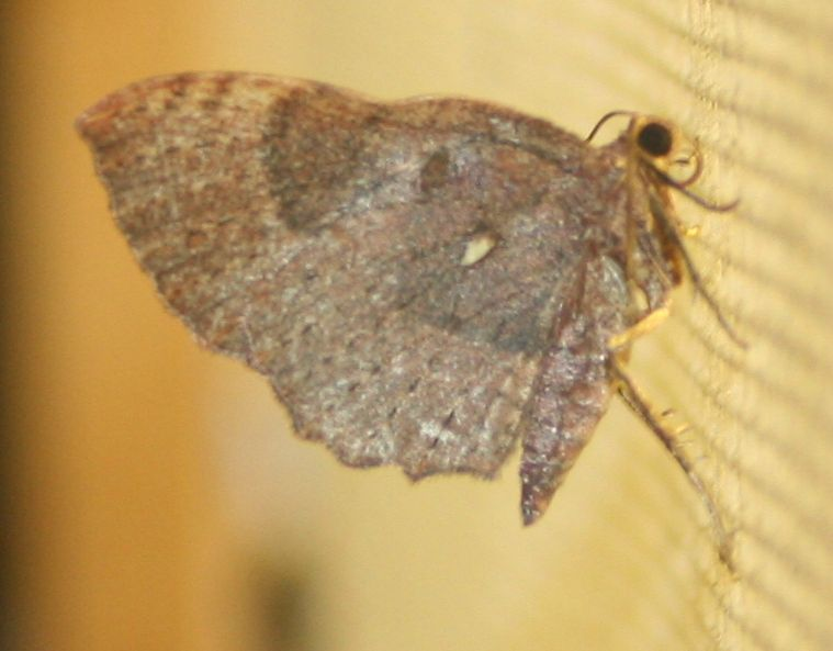 Asthenotricha sp. 02