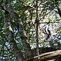 chamois - Rupicapra rupicapra (3)
