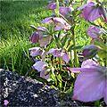 2013-03 fleur de mars nf