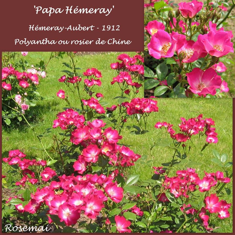 Rose ancienne : 'Papa Hémeray'