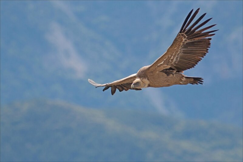 Castillo 130616 83 vautour proxi face
