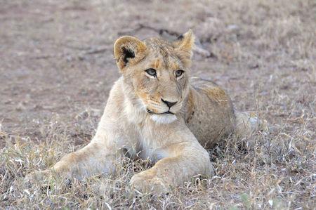 Jeune_lion__parc_Kruger__Afrique_du_Sud__3_