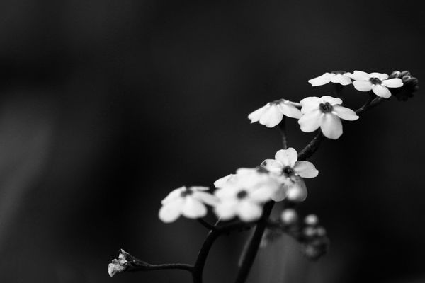 Flowers_bw