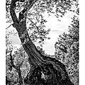 L'olivier équilibriste-2 © Tous droits réservés.