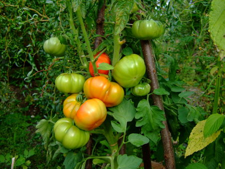 tomate_numero_4__23_aout_