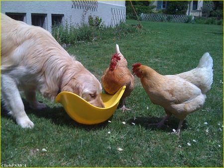 Gringo_et_ses_poules