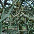 Citronnier épineux • Poncirus trifoliata • F. des Rutaceae