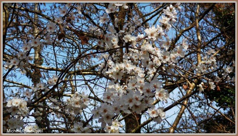 Merisier fleuri 1203153