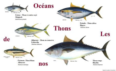 Thon_2Bmonde_2Blistao_2Balbacore_2Bgermon_2Bbluefin_2Bbigeye_2Bpatudo
