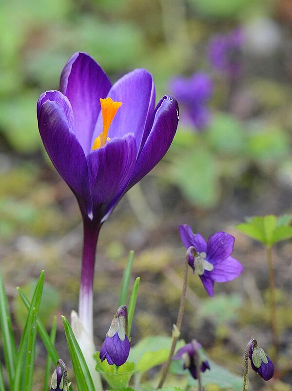 Crocus violet 18-02-18