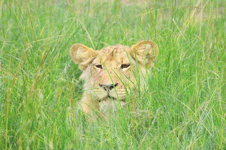 Jeune_lion__parc_de_Queen_Elizabeth__Ouganda