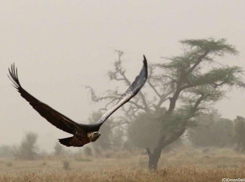 vautours4