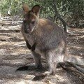 Wallaby - tasmanie