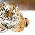 tigre neige