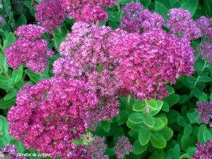 Sedum spectabilis en fleurs
