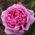 Rose Comte de Chambord-06